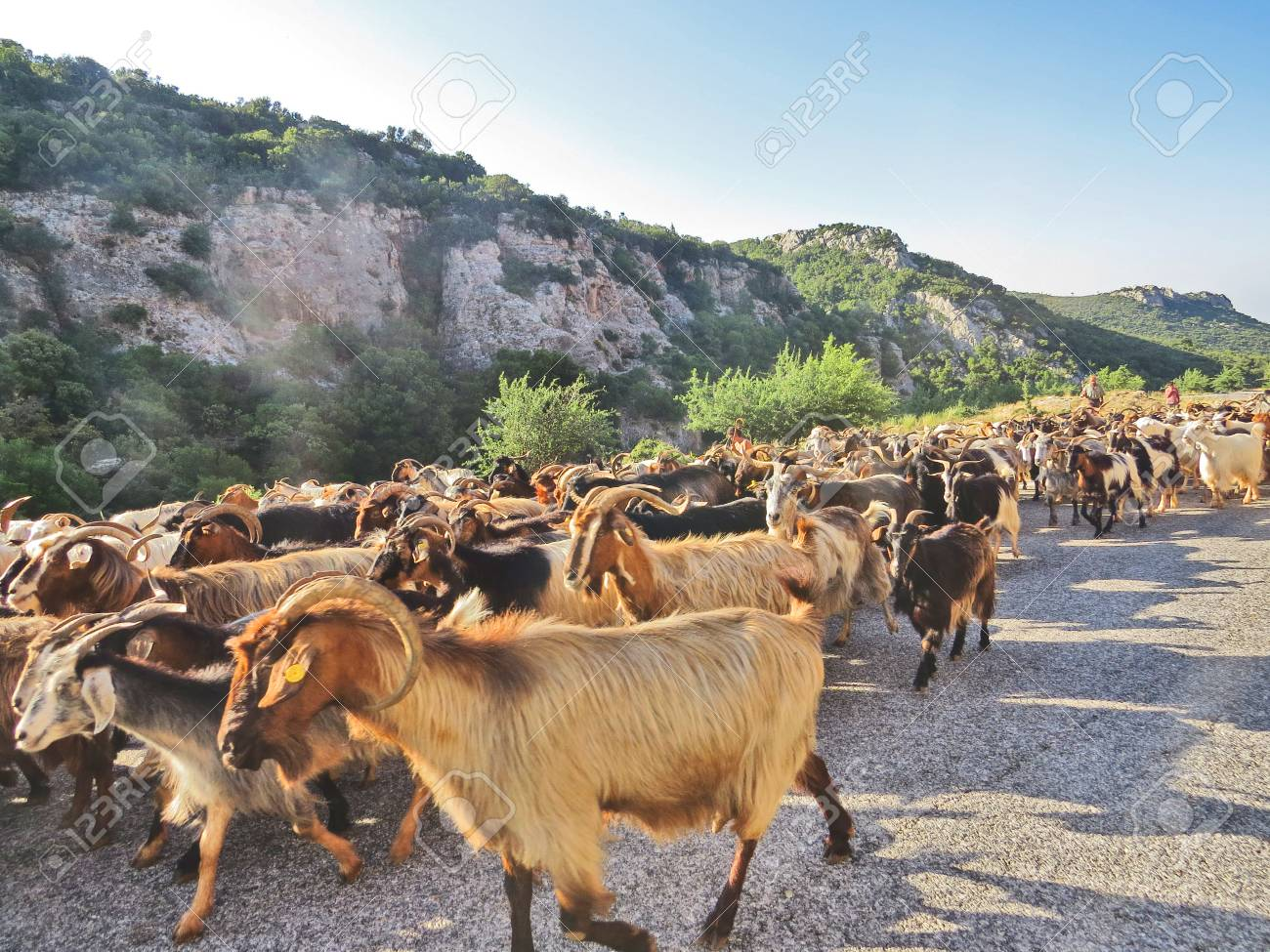Goats in Peloponesse Stock Photo - 80610612