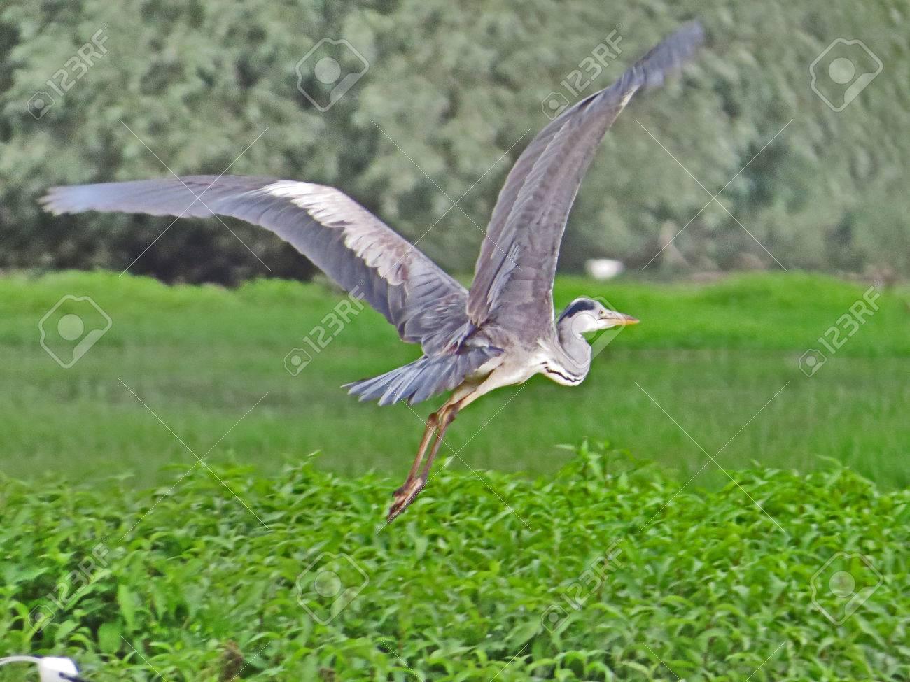 Gray heron Stock Photo - 80610547