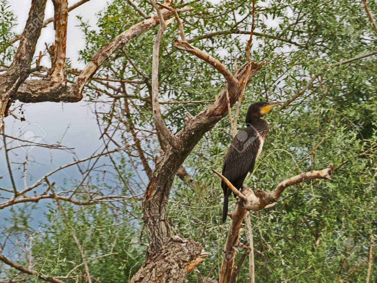 Cormoran bird Stock Photo - 80232428