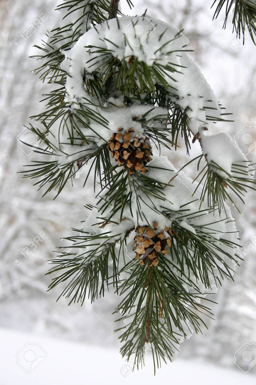 a evergreen branch with a heavy snow on it Stock Photo - 583753