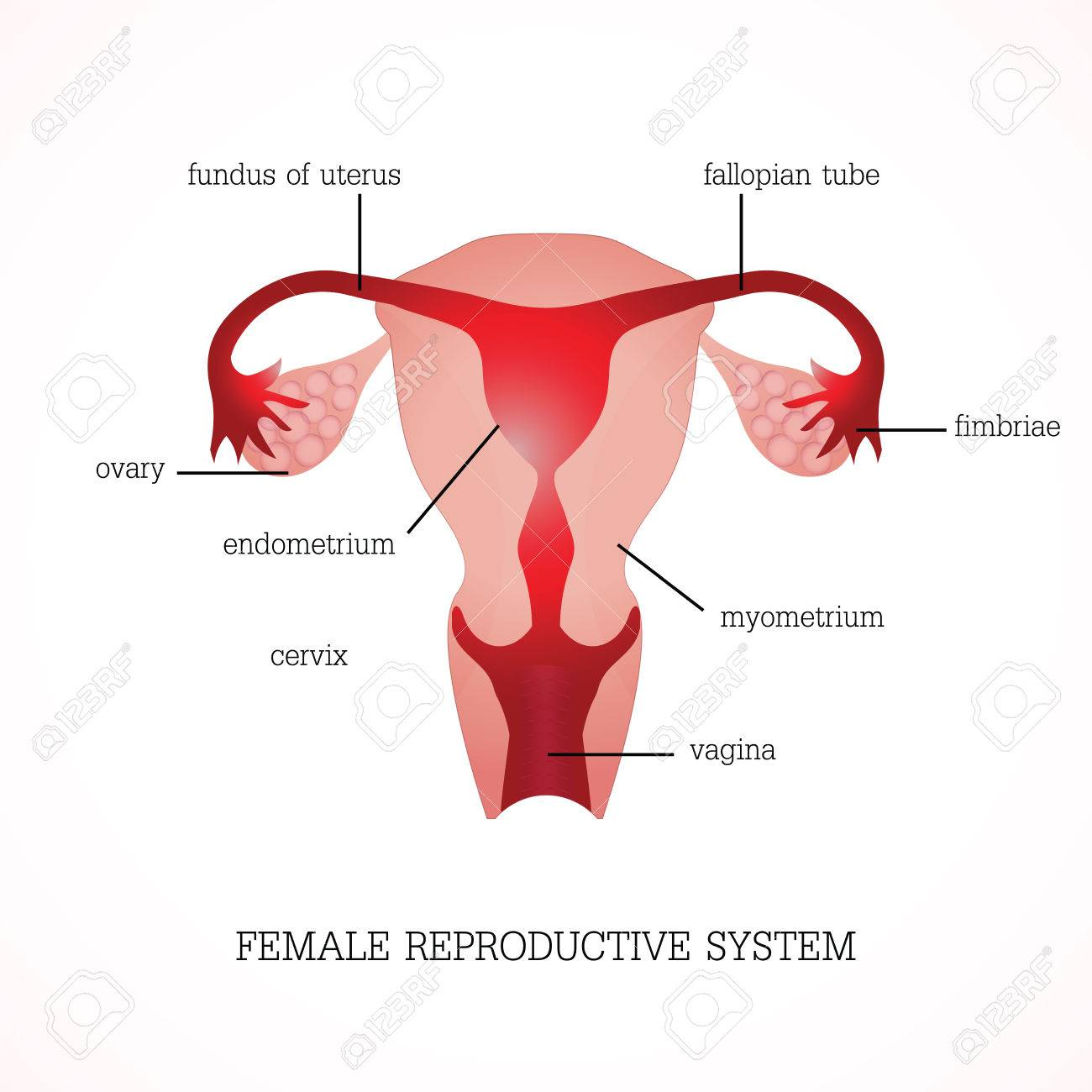 Structure And Function Of Human Female Reproductive Anatomy System ...