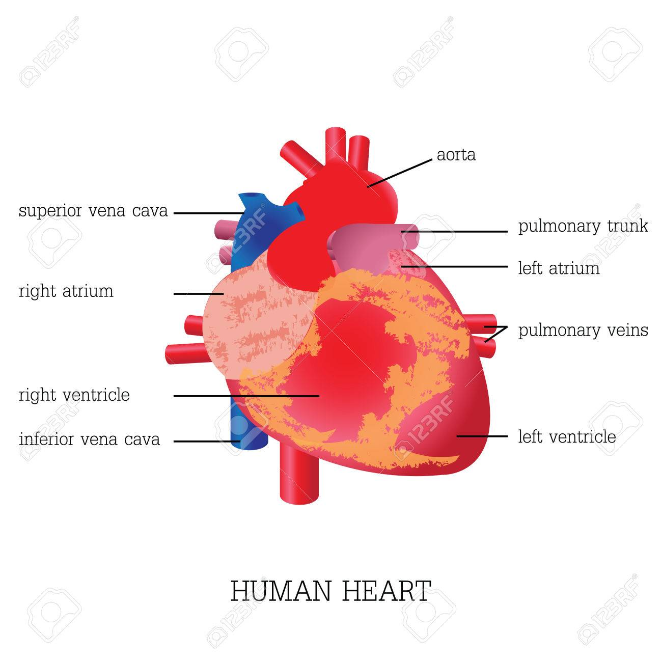 Structure And Function Of Human Heart System,Human Heart System ...