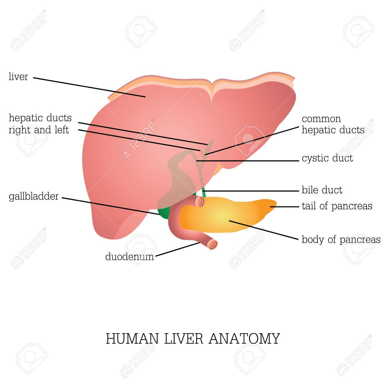 Structure And Function Of Human Liver Anatomy System Isolated