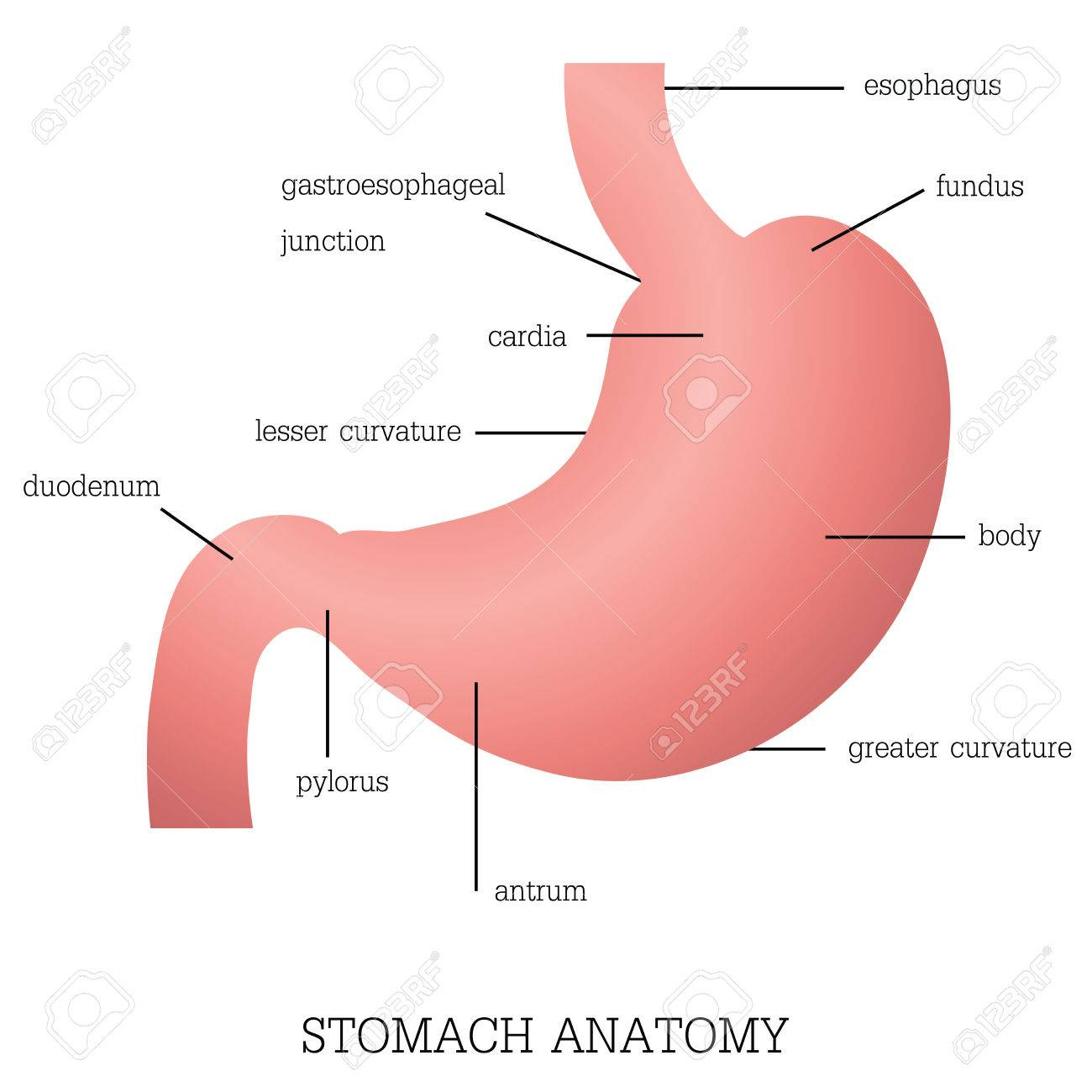 Structure And Function Of Stomach Anatomy System Isolated On ...