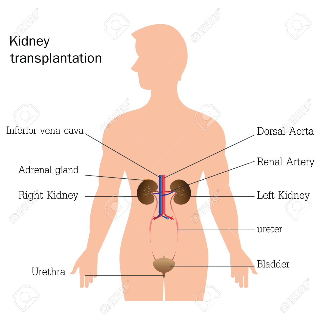 Estructura Y Función Del Sistema Urinario, La Anatomía Del Sistema ...
