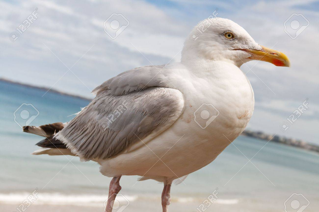 Graceful Seagull Sitting at Shoreline in St-Malo, France Stock Photo - 6309354