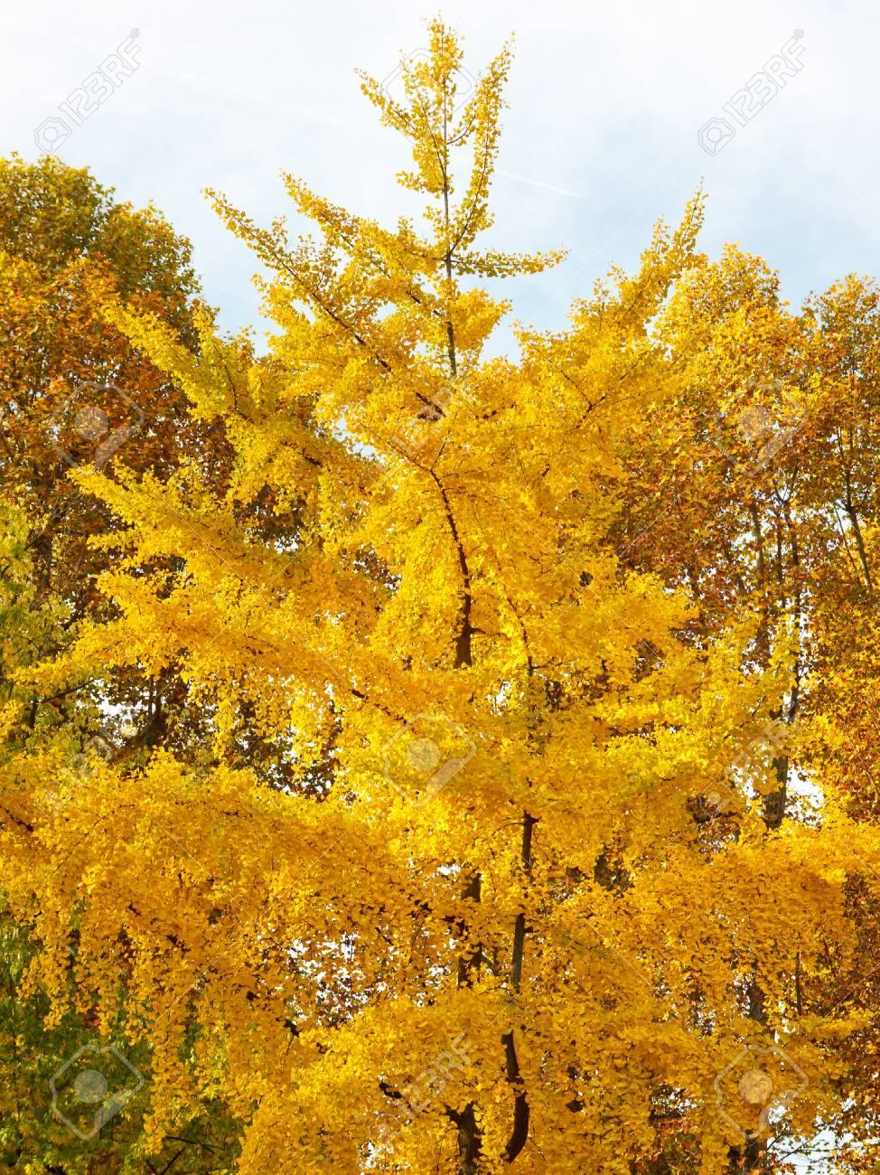 Fall Foliage Scenery - Tree with intense fall colors. Stock Photo - 17546280