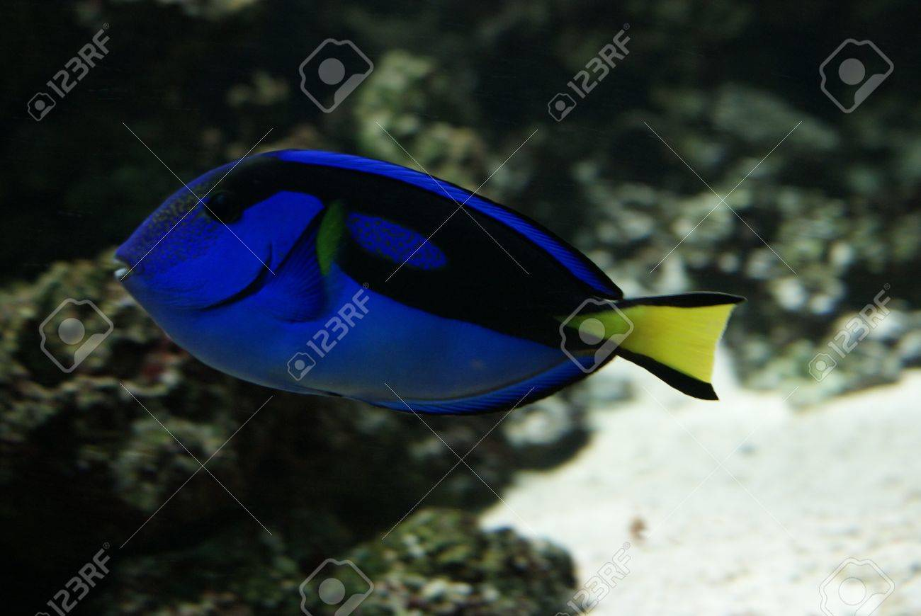 Close-up side-on image of Regal Tang Stock Photo - 8589172