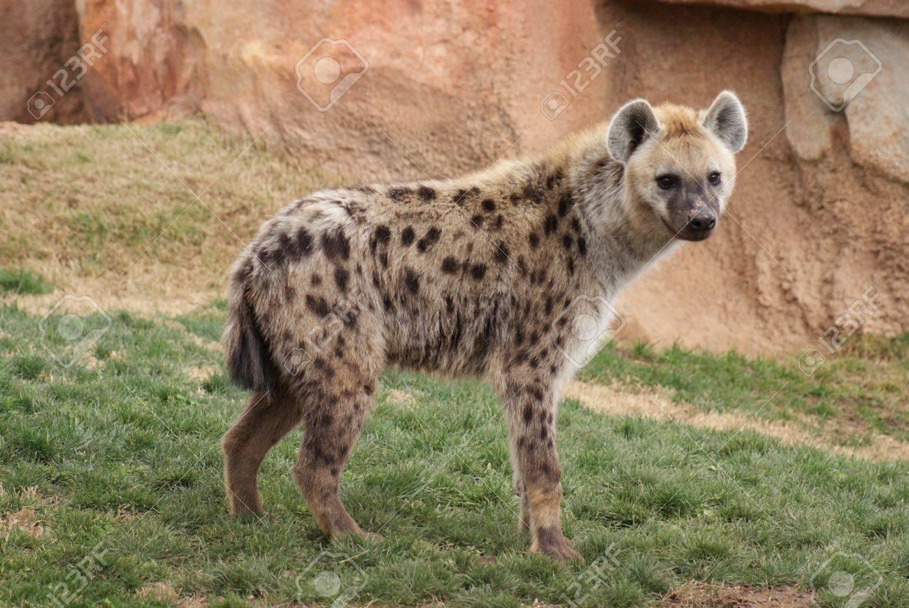 Wild Spotted / Laughing Hyena - Crocuta crocuta Stock Photo - 9557558
