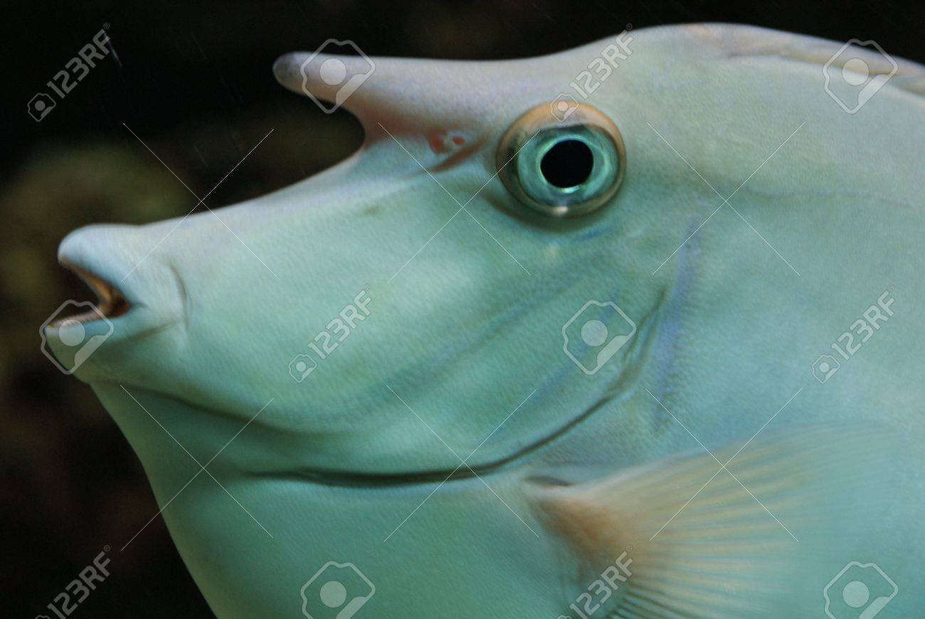 Close-up image of Unicorn Surgeonfish in water Stock Photo - 9558097