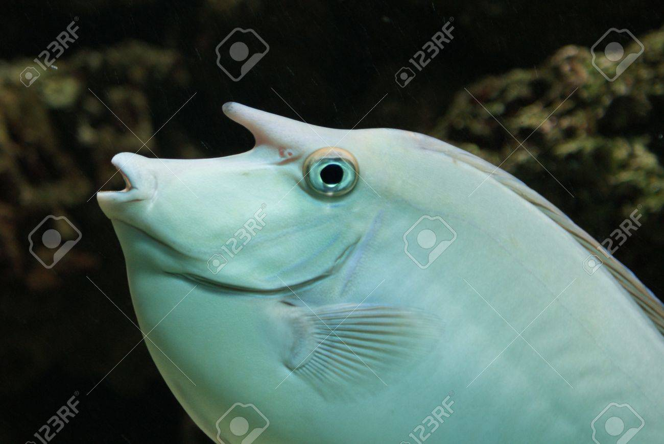 Close-up image of Unicorn Surgeonfish in water Stock Photo - 9558084