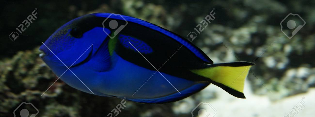 Close-up side-on image of Regal Tang Stock Photo - 12122924