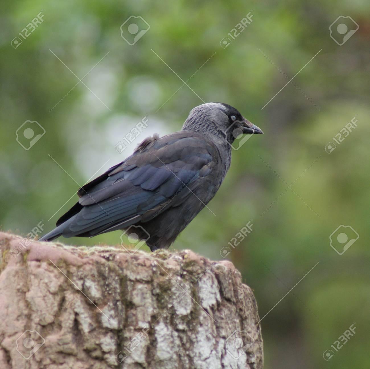 Portait image of a wild Jackdaw - Corvus monedula Stock Photo - 12724280