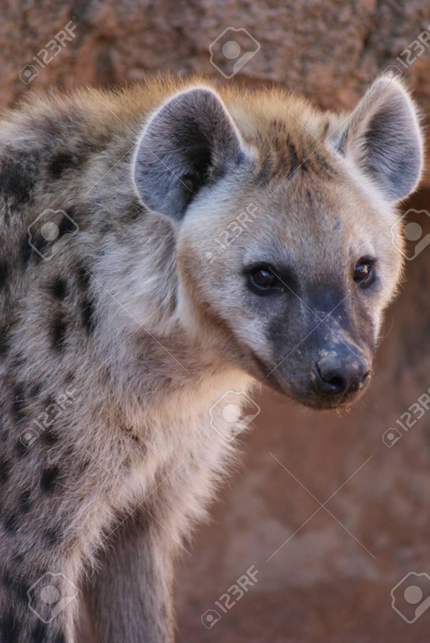 Wild Spotted / Laughing Hyena - Crocuta crocuta Stock Photo - 15508057