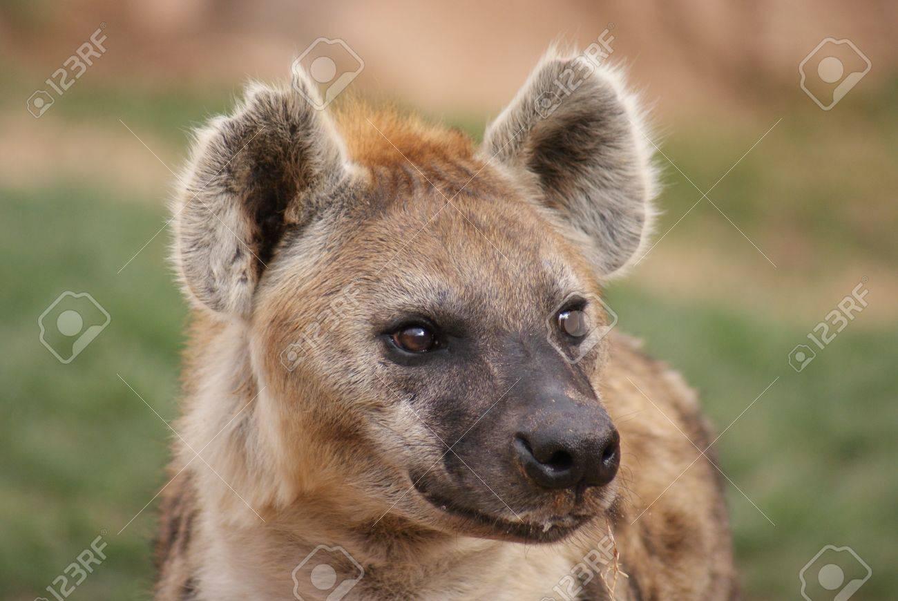 Wild Spotted / Laughing Hyena - Crocuta crocuta Stock Photo - 15508036