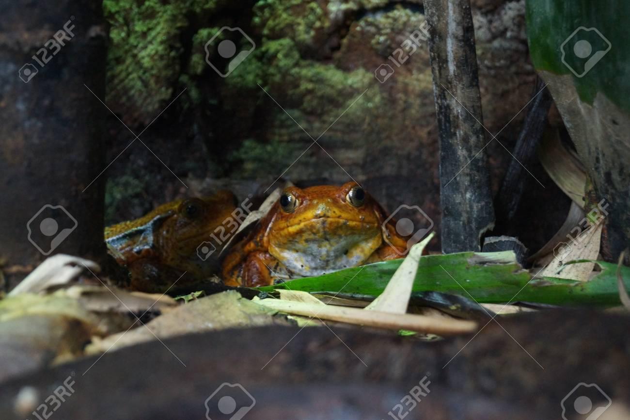 ガエル アカ トマト カエル好きのみなさんに朗報です~ 日本最大級のカエル展示・飼育施設『KawaZoo』がOPEN!|BE