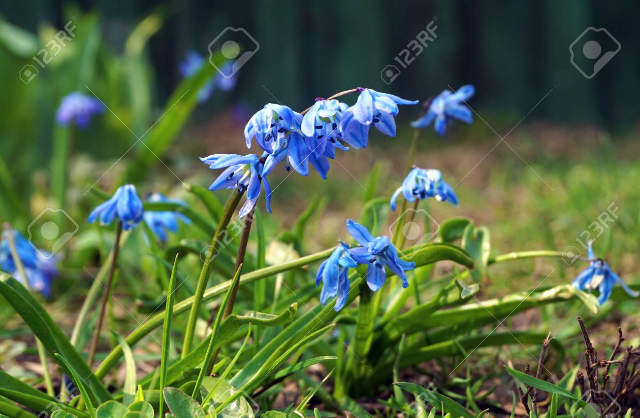One Of The First Spring Flowers Scilla Difolia A Lot Of Beautiful