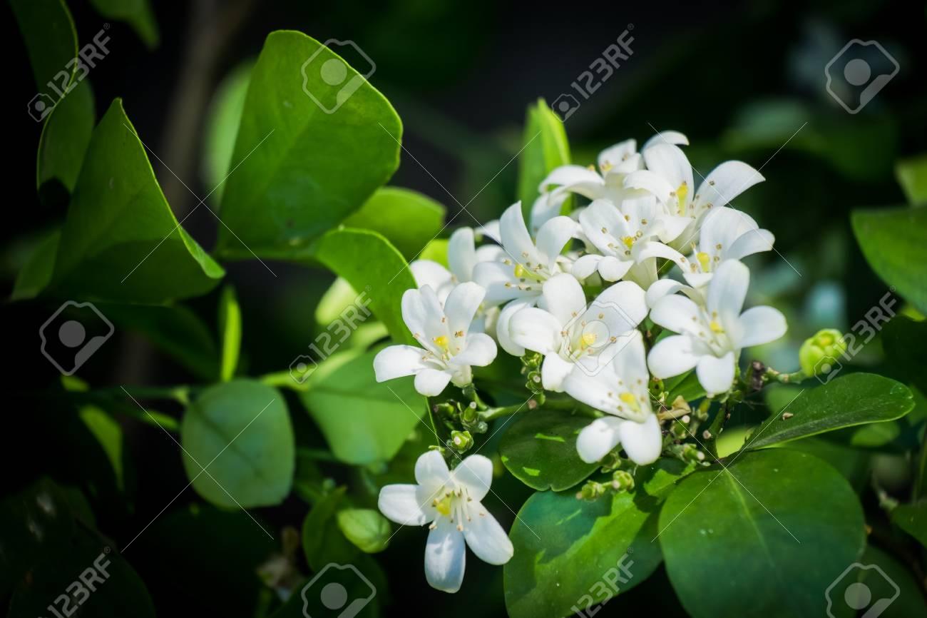 Fragrant small white flowers stock photo picture and royalty free fragrant small white flowers stock photo 52631653 mightylinksfo