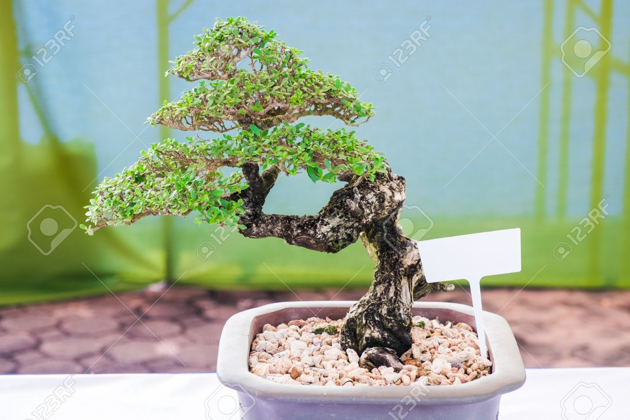 Bonsai Or Ficus In The Eastern Tradition, Trees Bonsai Are Classic ...