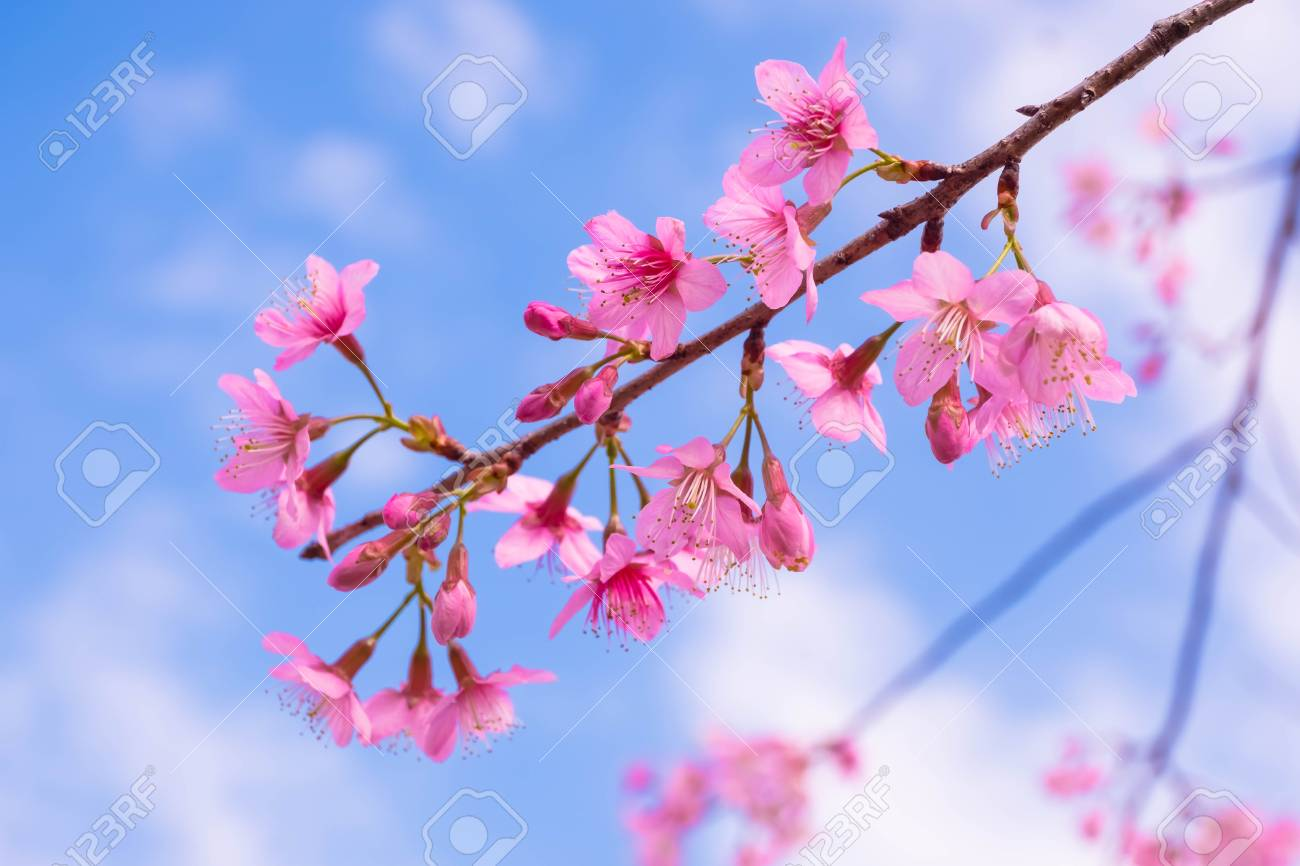 Cherry Blossom Pink Sakura Flowersoft Focus Sakura Flower Stock