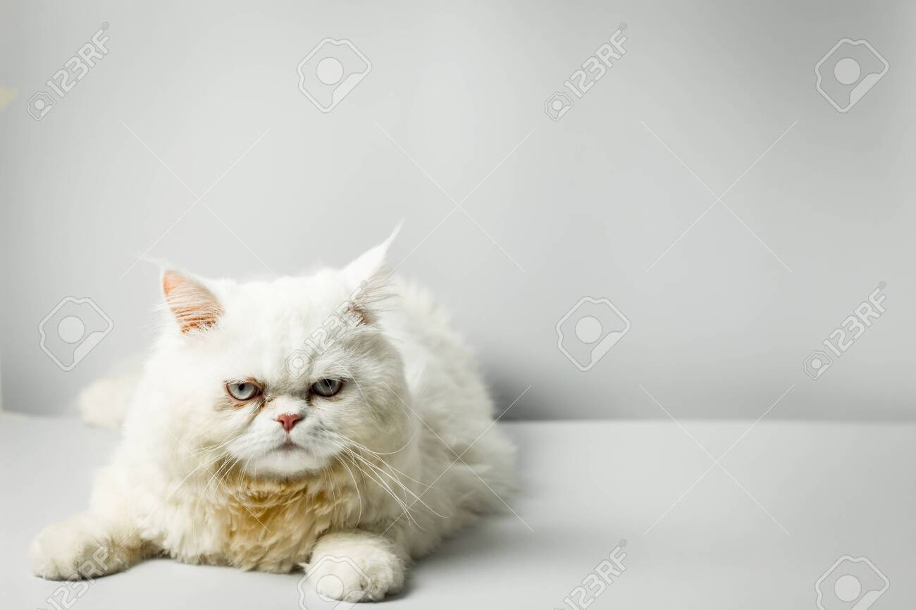 White persian cat with wool that frown on white background. Persian male cat fluffy white in the studio. White cat cute furry and scowl. - 132026273