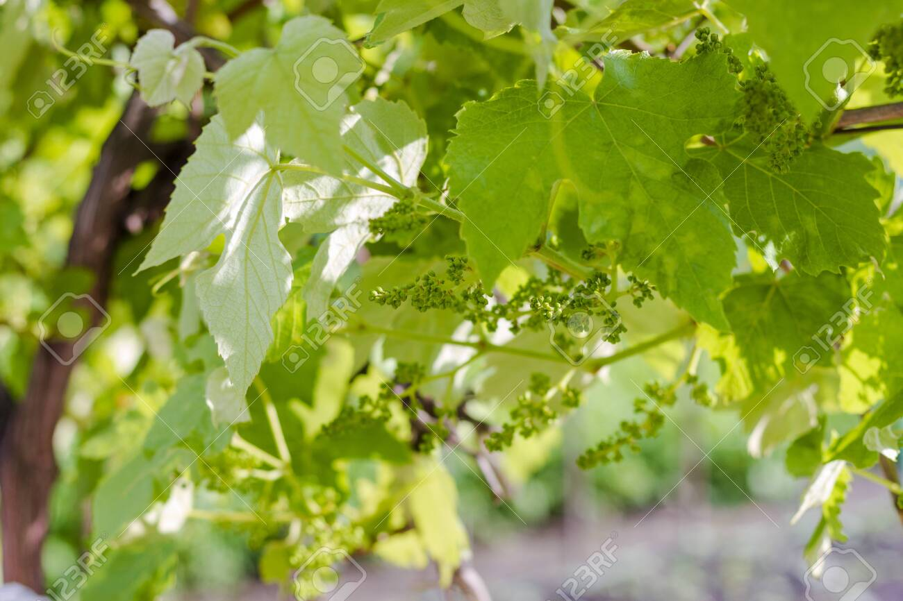 Spring Grape Vines on a sunny day. - 148692968