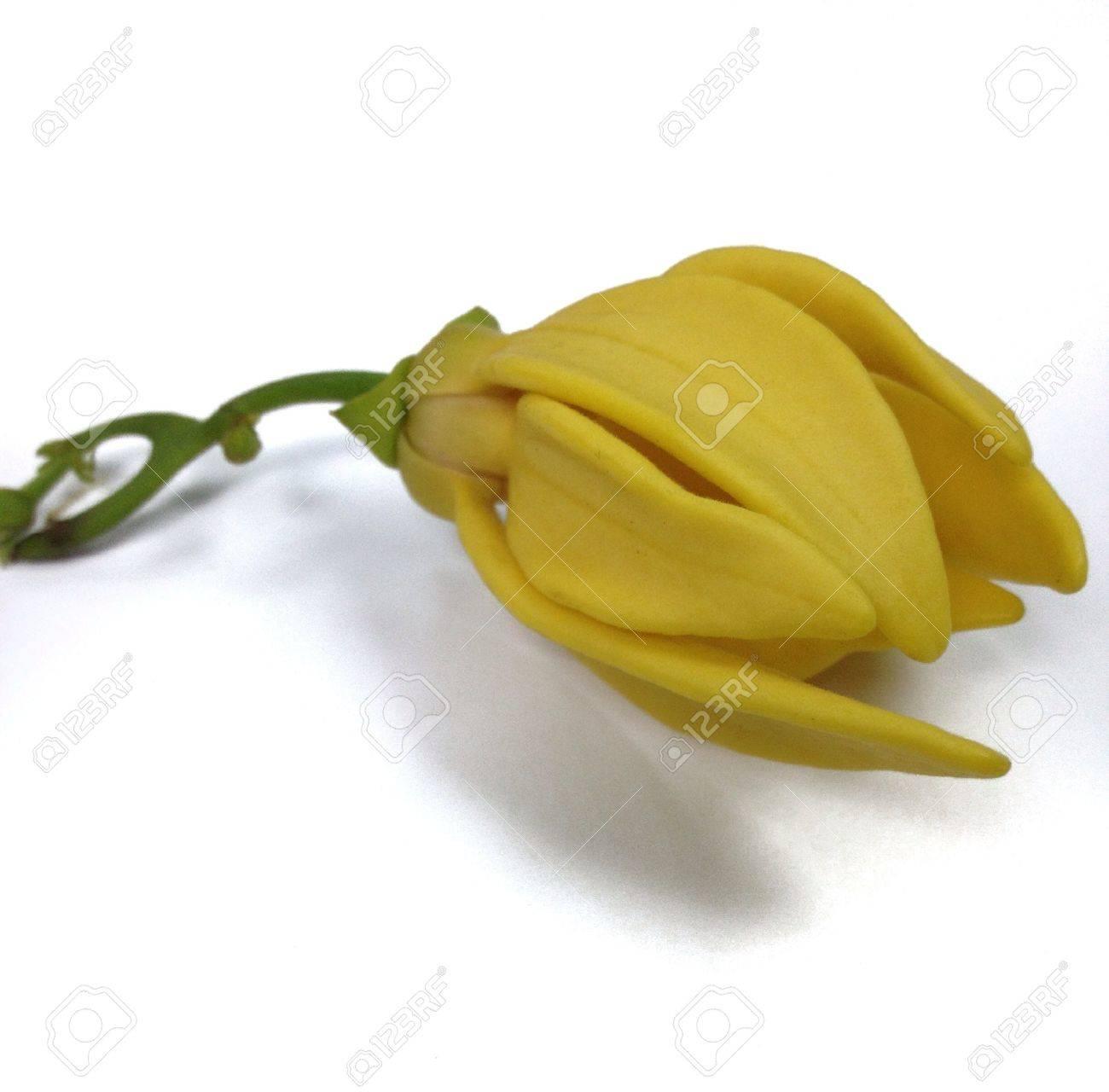 Blooming ilang ilang Stock Photo - 21246146