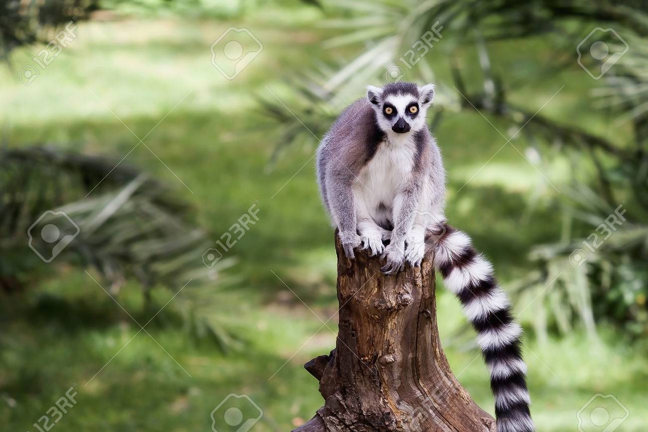 Lemur From Ring Tail, Sitting On The Trunk Of A Tree In The Forest ...