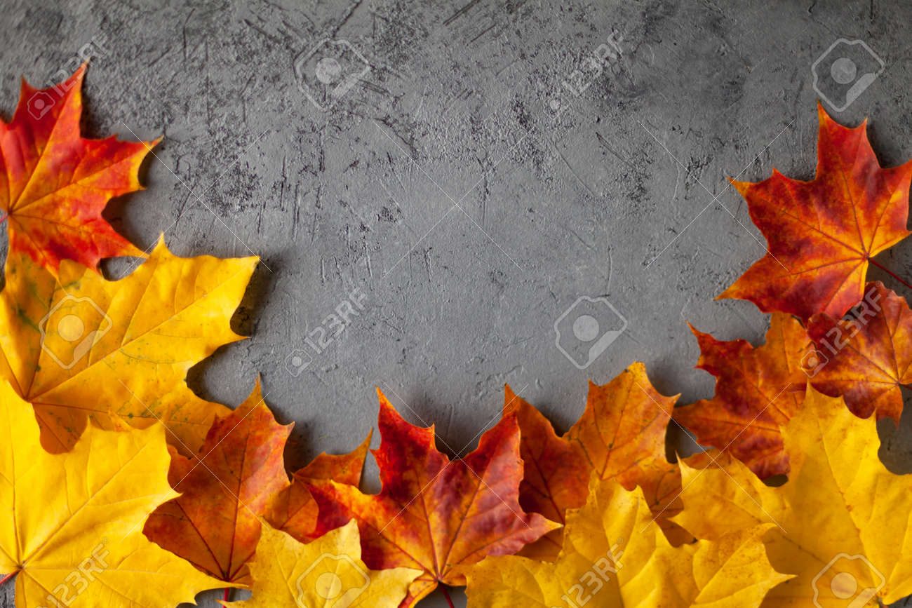 Pattern made of minimal composition of colorful marple fall leaves on gray concrete wall. closeup Frame Autumn concept. Flat lay copy space for text. - 156771327