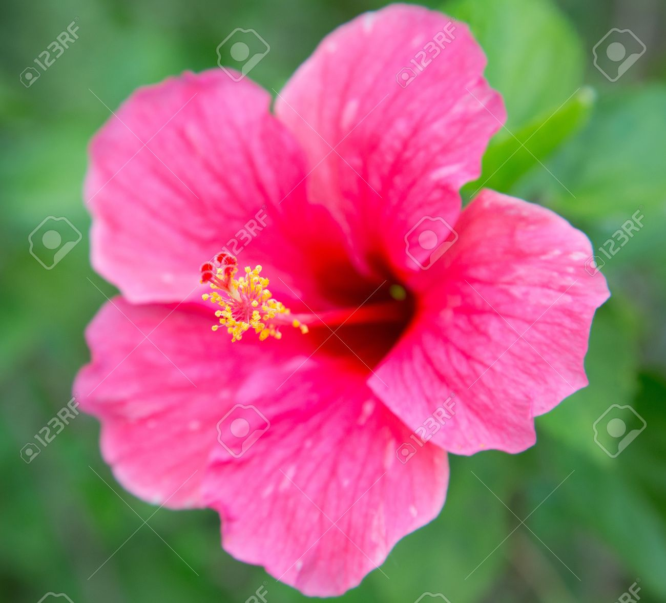 Big pink hibiscus flower with leaves on green background stock photo big pink hibiscus flower with leaves on green background stock photo 18409228 izmirmasajfo Gallery