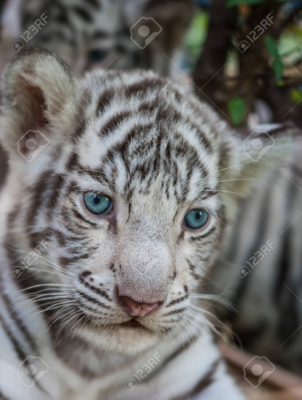 close up white baby tiger Stock Photo - 64516121