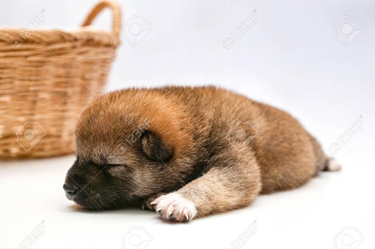 Close Up Of A Newborn Shiba Inu Puppy Japanese Shiba Inu Dog Stock Photo Picture And Royalty Free Image Image 119003177