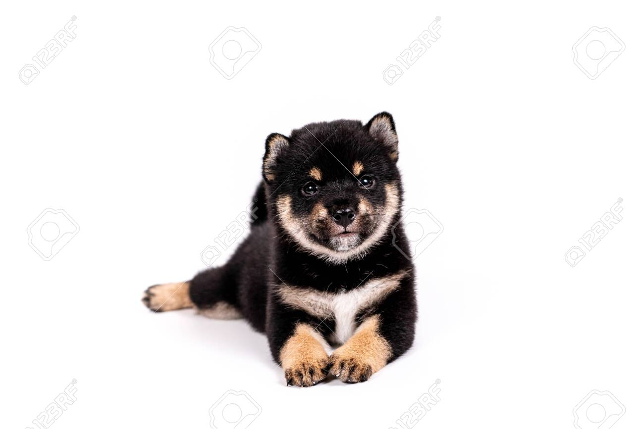 Puppy Shiba Inu Color Black And Tan On A White Background Shiba Stock Photo Picture And Royalty Free Image Image 145067859