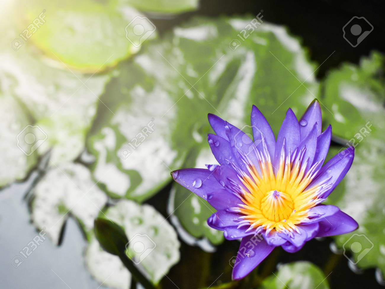 Beautiful Purple Blue Lotus Flower After Rain Showerlotus Leaves