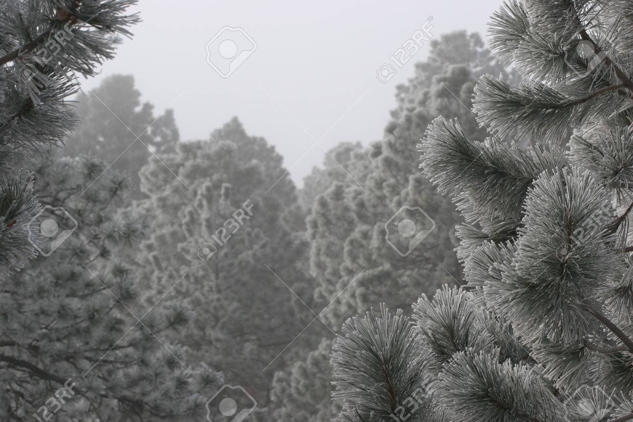 Frost on Pine Trees Stock Photo - 2680676