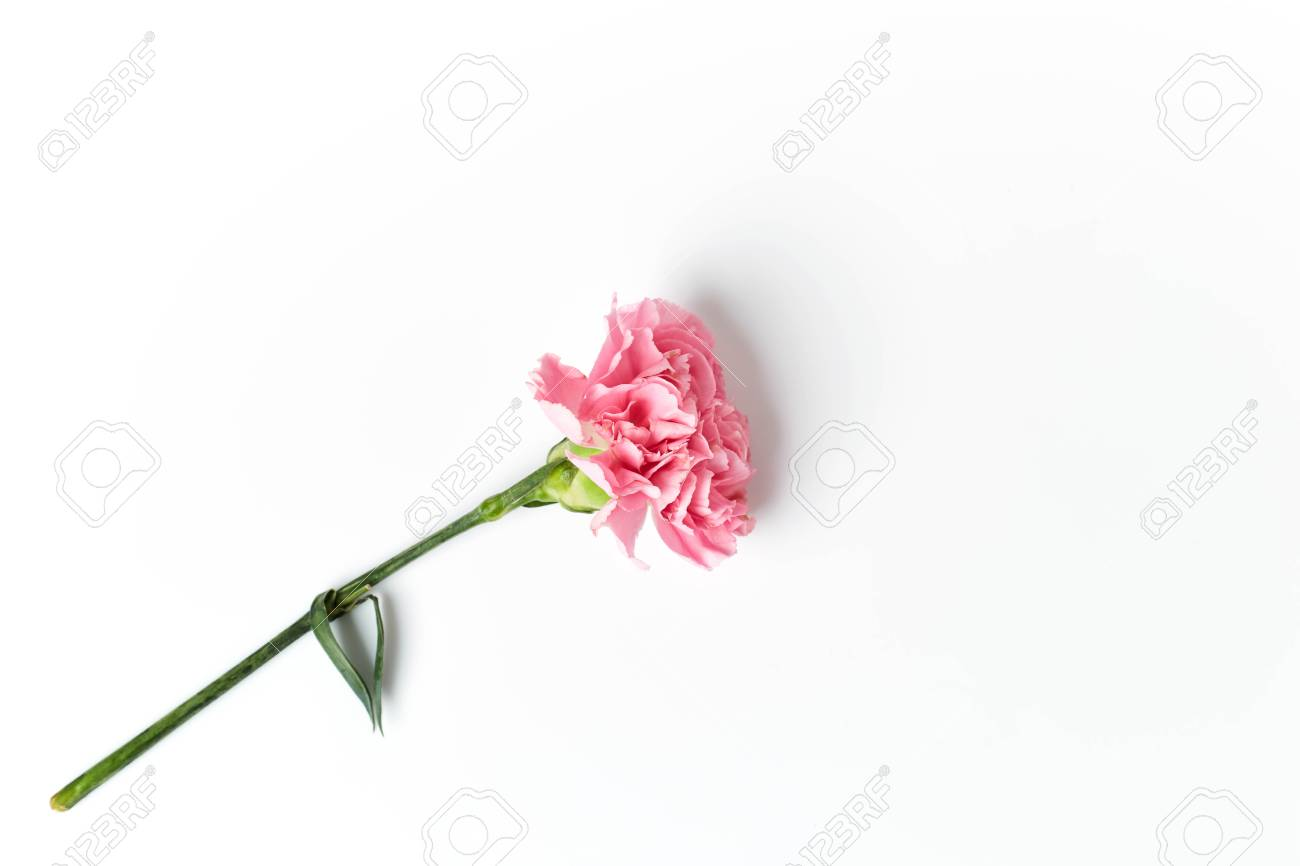 Beautiful Pink Carnation Flower Isolated On White Background Stock