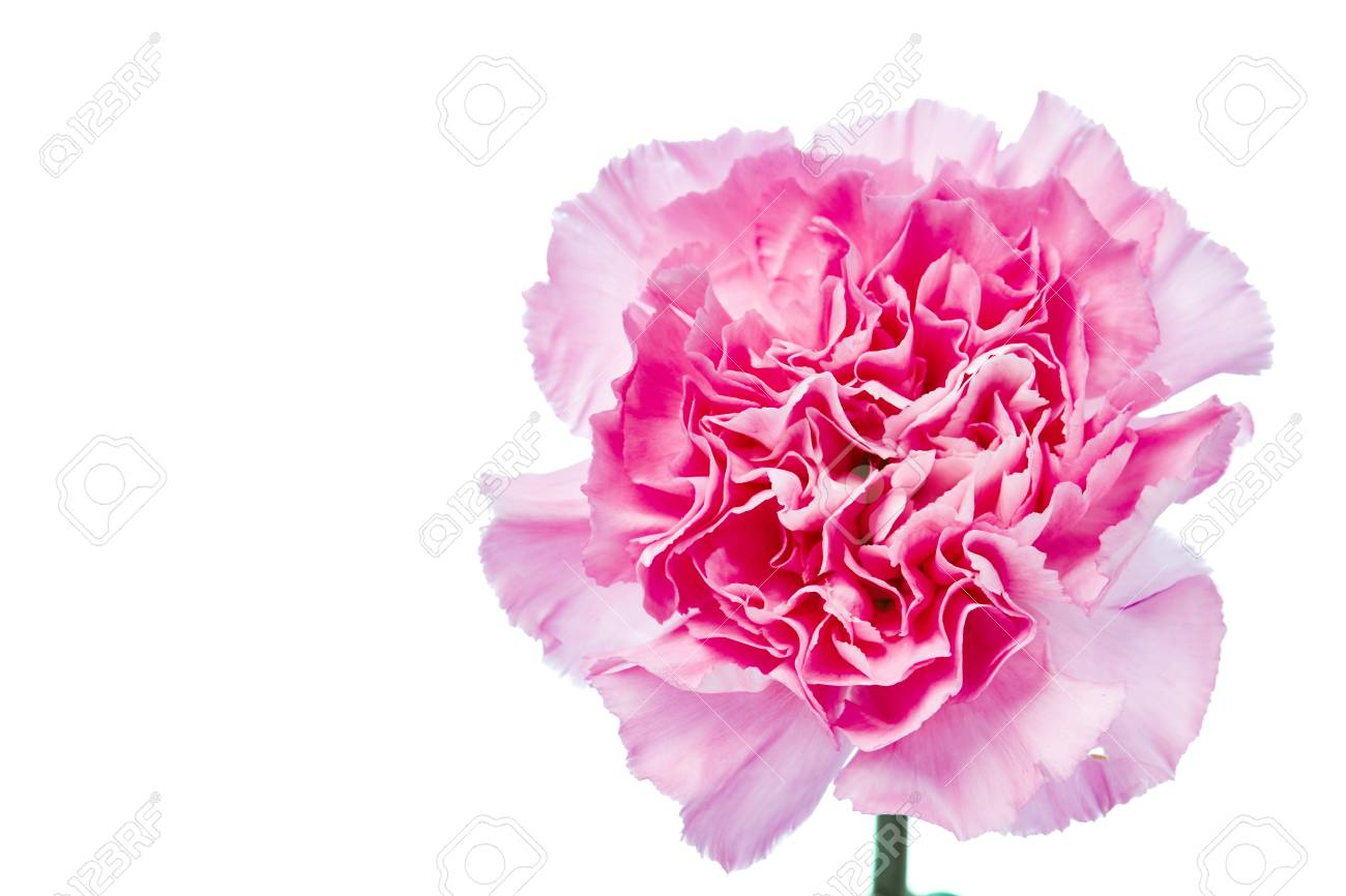 Beautiful Blooming Carnation Flower On A White Background Stock