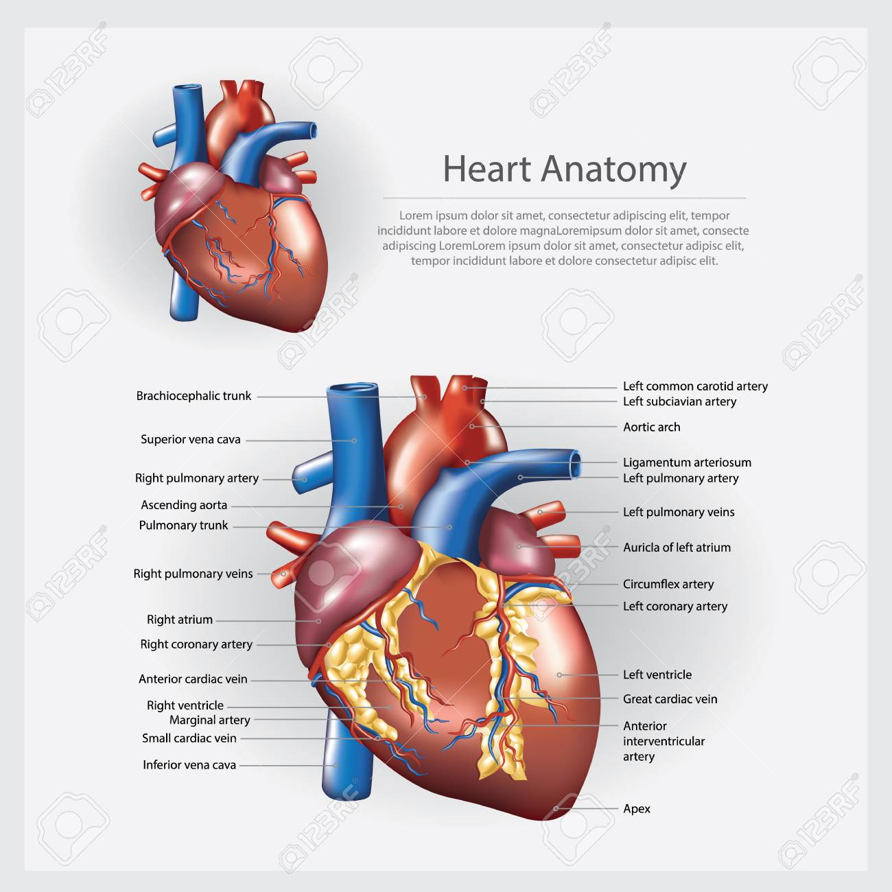 Heart Anatomy Vector Illustration Royalty Free Cliparts, Vectors ...