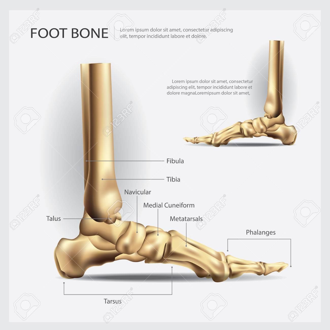 Fuß Knochen Vektor-Illustration Lizenzfrei Nutzbare Vektorgrafiken ...