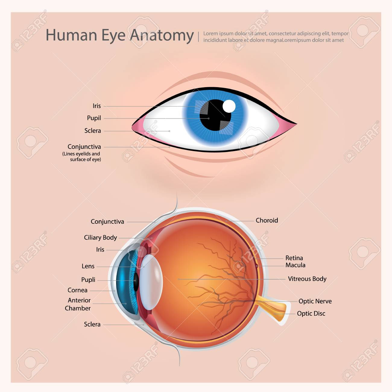 Human Eye Anatomy Vector Illustration Royalty Free Cliparts, Vectors ...
