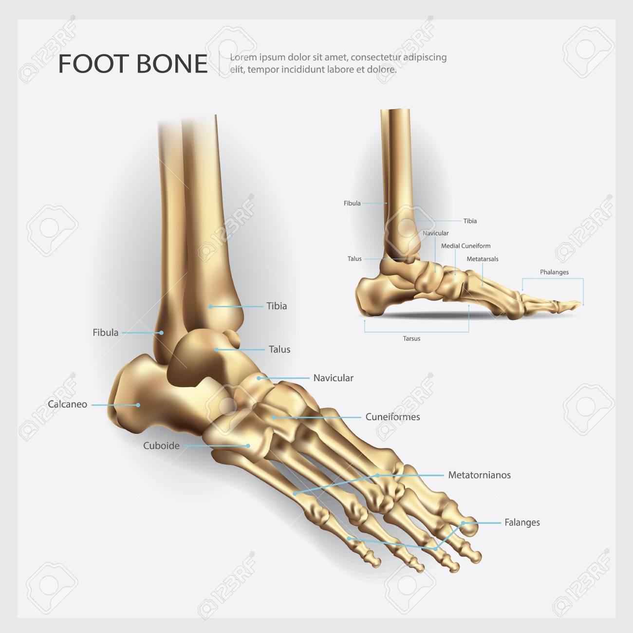 Fußknochen Anatomie Vektor-Illustration Lizenzfrei Nutzbare ...