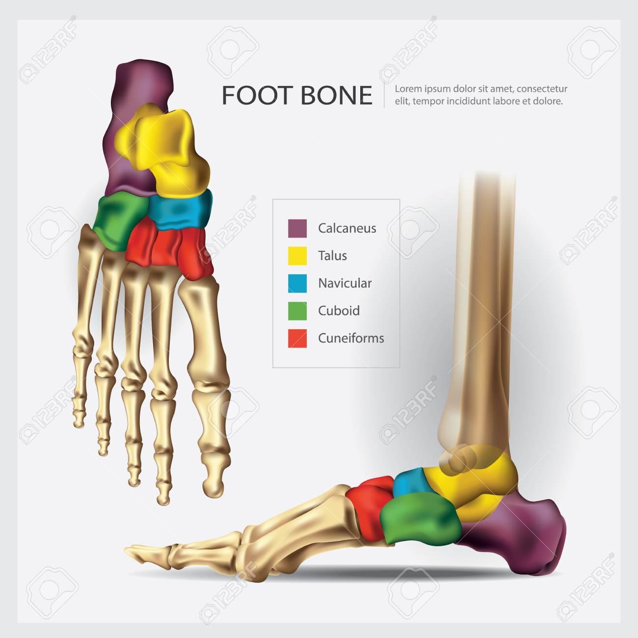 Ilustración De Vector De Hueso De Pie De Anatomía Humana ...