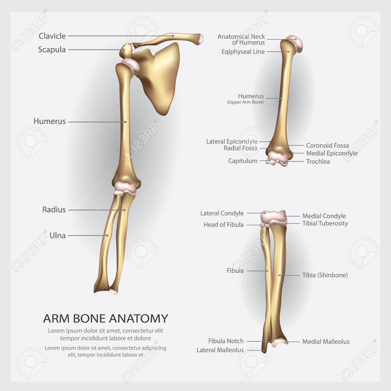 Arm Bone Anatomy With Detail Vector Illustration Royalty Free