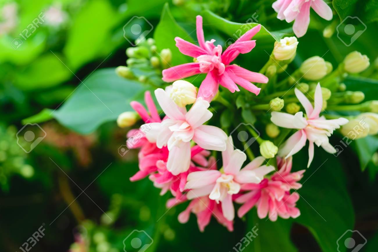 Schöne Rosa Blume Natürlich Schöne Blumen Im Garten Lizenzfreie