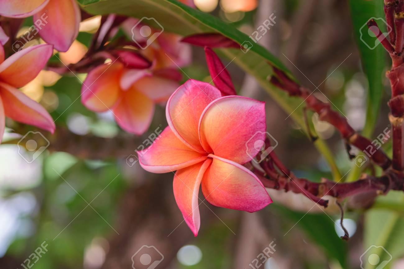 Schöne Blume Plumeria Natürlich Schöne Blumen Im Garten Lizenzfreie