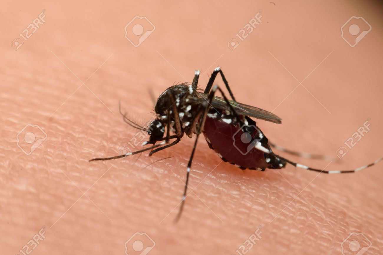 Macro of mosquito sucking blood close up on the human skin. Mosquito is carrier of Malaria, Encephalitis, Dengue and Zika virus - 52916923