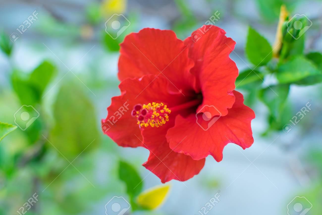 Beautiful red chinese rose cha ba naturally beautiful flowers beautiful red chinese rose cha ba naturally beautiful flowers in the garden izmirmasajfo
