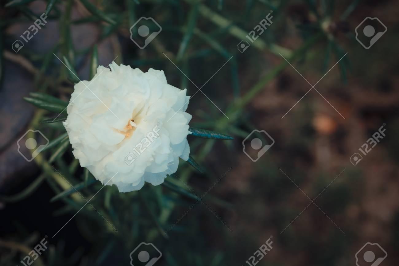 Beautiful White Moss Rose Flower Naturally Beautiful Flowers