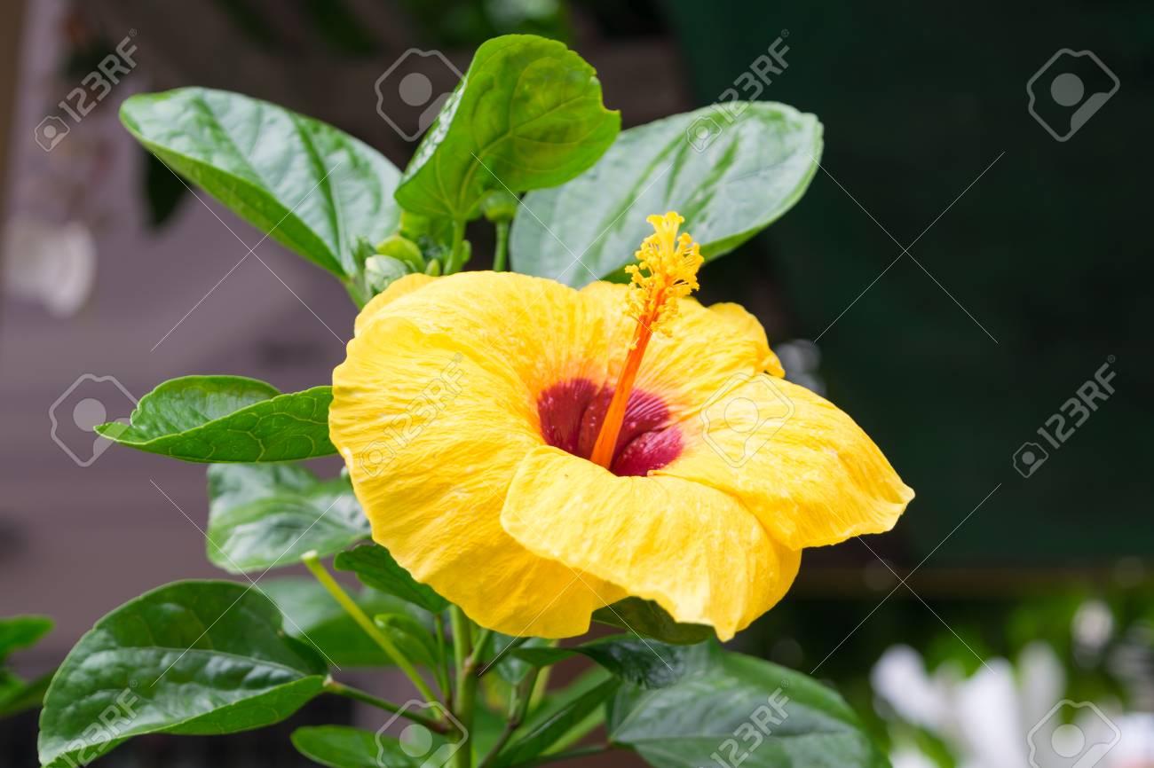Beautiful chinese rose cha ba yellow color naturally beautiful beautiful chinese rose cha ba yellow color naturally beautiful flowers in the izmirmasajfo