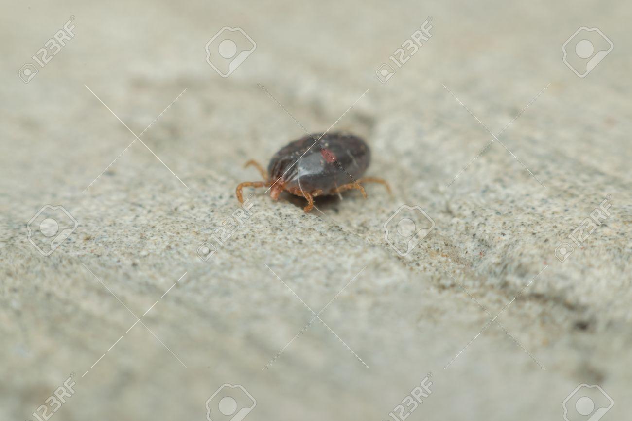 Macro of dog ticks (Haemaphysalis longicornis) on the ground it dangerous for your pet - 58236184